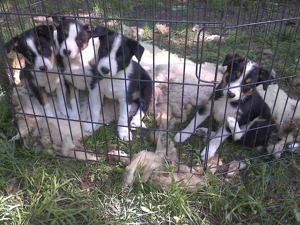 Puppies 8wks_helping with shearing 01