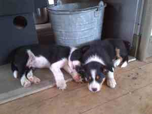 Puppies 8wks_nap by the fire