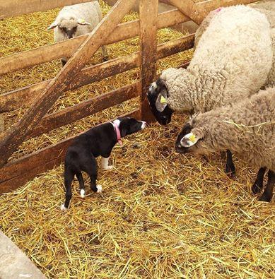 Bess meeting sheep