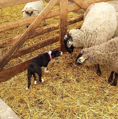 Bess meeting sheep