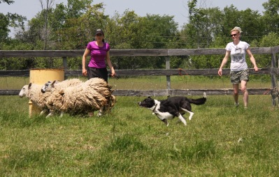 hearding and sneak puppies 073 (1)